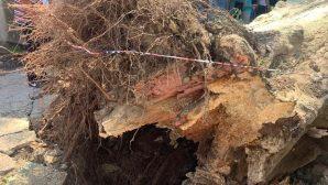 Beykoz'un Anıt Ağaçları Yeniden Filizlenecek